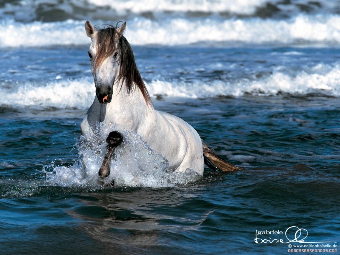 Caballo blanco en el mar