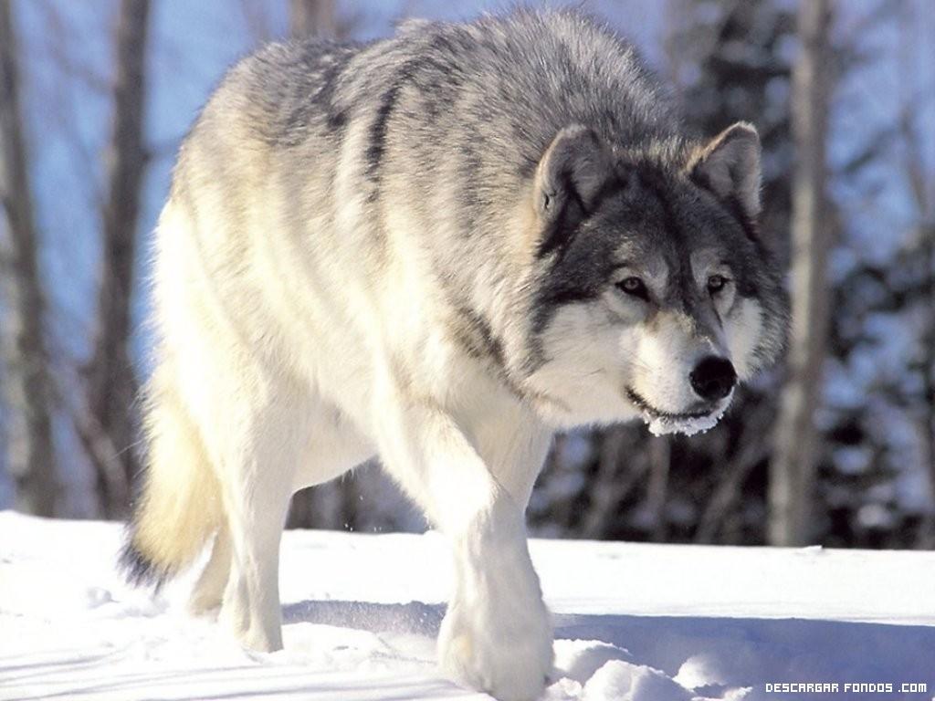 Lobo blanco al ataque