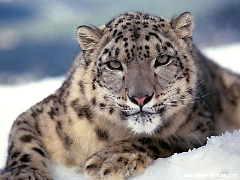 Felino de nieve