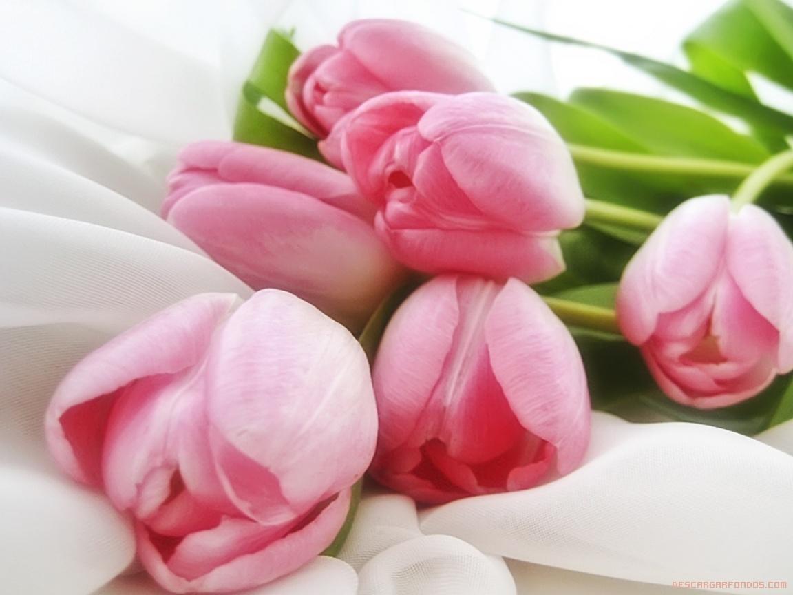 Tulipanes rosas