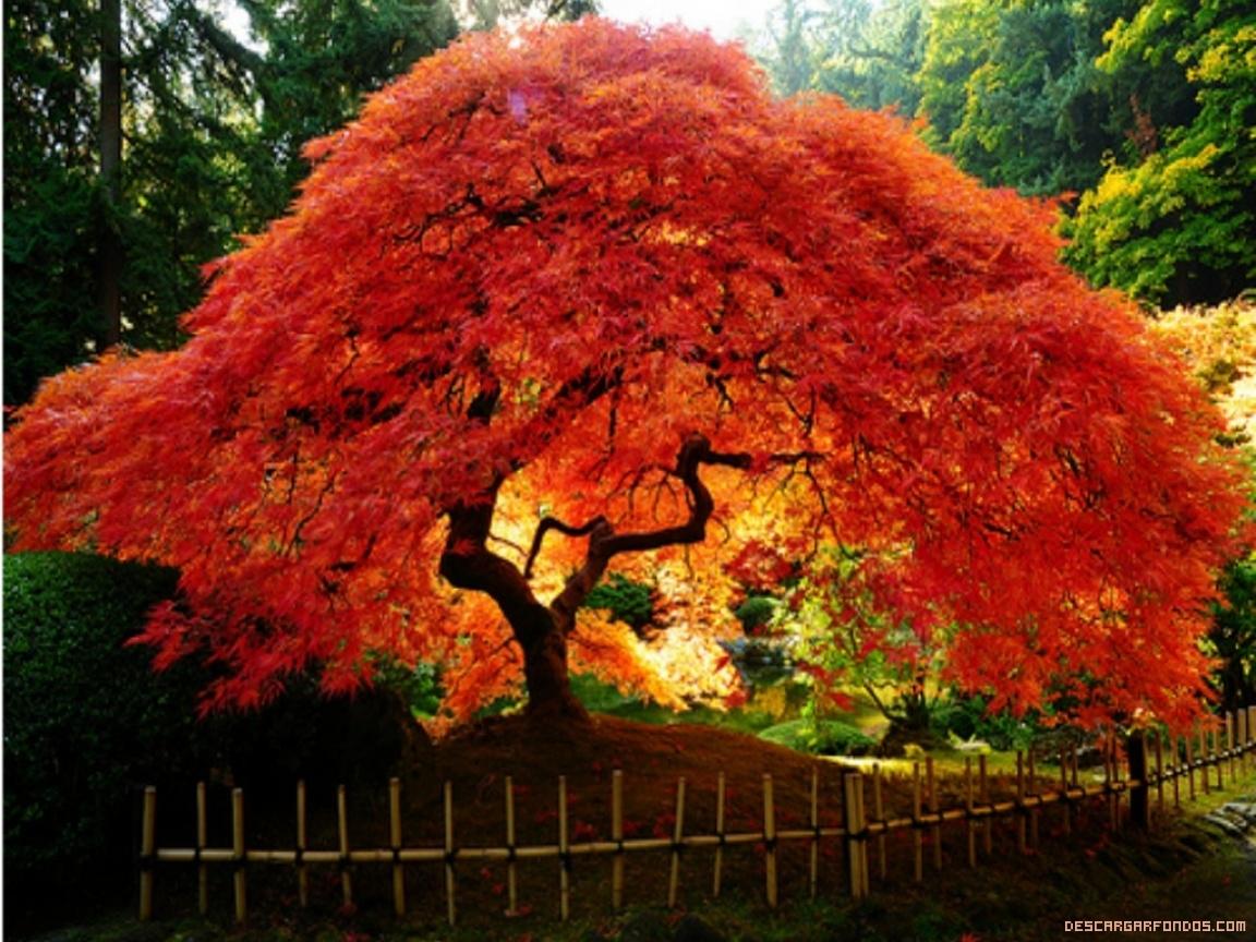 Rboles de hojas rojas for Arboles de hoja perenne para jardin