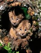 Los hermanitos tigres