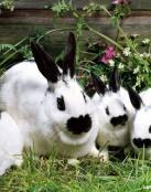 Familia de conejos pintos