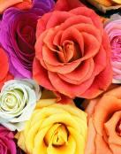 Conjunto de rosas de colores