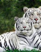 Dos tigres blancos