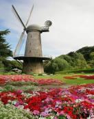 El molino y los tulipanes