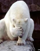 El oso arrepentido