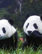 Fondo de osos pandas