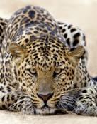 Leopardo agazapado