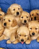 Muchos cachorritos
