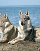 Pareja de lobos en el océano