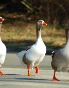 Patos por la ciudad
