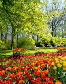 Un jardín lleno de tulipanes