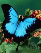 Mariposa azul y negra
