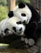 Osos Panda amorosos