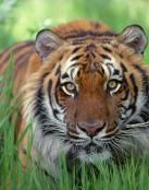 Tigre entre la hierba