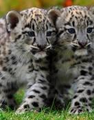 Tigres amigos