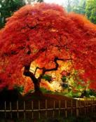 �rboles de hojas rojas