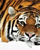 Tigre descansando