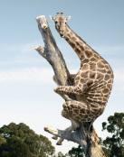 Primer plano de jirafa