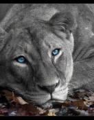 Leona de ojos azules