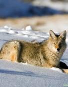 Lobo descansando en la nieve