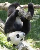 Oso panda colgado de una rama