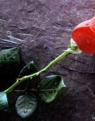 Original rosa