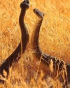 Pareja de serpientes