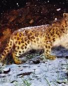 Leopardo en la nieve